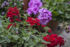 Spring in London, England; red and violet flowers. This image shows a view of a garden in London, England. We can see some red and violet flowers royalty free stock image