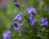 In the garden, spring in England - small blue flowers. This image shows a view of a garden in spirng. It was taken in May 2018 London, England. It focuses on stock photos