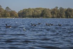 Hyde Park, London - ducks and blue waters. This image shows a view of Hyde Park, London. It was taken on a sunny day in autumn 2018. We can see some ducks stock images