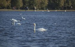 Hyde Park, London - swans and blue waters. This image shows a view of Hyde Park, London. It was taken on a sunny day in autumn 2018. We can see some swans stock image