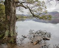 Lake District, England, the UK - bleak, gloomy autumnal day, a tree. This image shows a view of a lake in Cumbria, Lake District. It was taken on a gloomy stock images