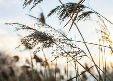 London, parks - reeds at sunset. This image shows a view of one of the parks in London. It focuses on some reed stems against a brightly lit sky at sunset Stock Photography