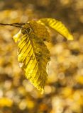 Oslo - yellow leaves in the park. This image shows a view of Oslo - some yellow leaves in one of the parks Royalty Free Stock Images