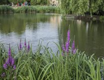 Spring in London; a pond and violet flowers. This image shows a view of a park in London. We can see a pond and some greenery around it - violet flowers stock photo