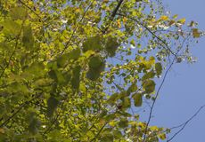 Autumn in London, October 2018; green leaves looking up. This image shows a view of a park in London. It was taken on a sunny day in October. It shows off the stock images