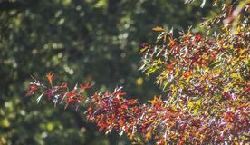 Red leaves - colourful autumn in England. This image shows a view of some branches full colourful leaves royalty free stock image