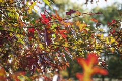Red leaves on a sunny day - colourful autumn in England. This image shows a view of some branches full colourful leaves. It was taken on a sunny day in stock images