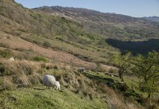 Snowdonia, North Wales - the hills and the sheep. This image shows a view of some hills in Snowdonia, North Wales. It was taken on a bright, sunny day in spring Royalty Free Stock Photography