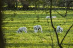 Wales, the UK - lambs on a meadow. This image shows a view of some meadows and lambs in Wales. It was taken on a bright, sunny day in spring 2018 Stock Photos