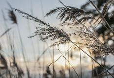 Parks of London, England - reeds and sunset. This image shows a view of some reeds in one of the parks in London. It was taken on a cloudy day at sunset Royalty Free Stock Photos