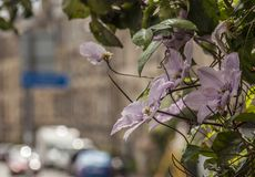 Edinburgh, Scotland, the UK - buildings and flowers. This image shows a view of a street in Edinburgh, Scotland, the UK. It was taken on a sunny day in July royalty free stock photography