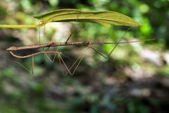 Image of a siam giant stick insect on leaves. Stock Photo