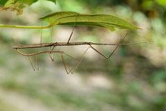 Image of a siam giant stick insect on leaves. Royalty Free Stock Images