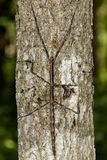 Image of a siam giant stick insect on the tree. Insect Stock Images