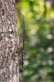 Image of a siam giant stick insect on the tree. Insect Stock Photography