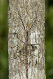 Image of a siam giant stick insect on the tree. Insect Royalty Free Stock Photography