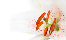 Image of the single white lily Royalty Free Stock Photos