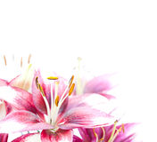 Image of the single white lily Stock Image