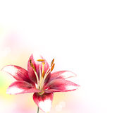 Image of the single white lily Royalty Free Stock Image