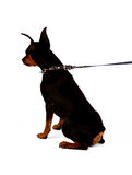 Image of sitting dog. Back of miniature pinscher. Studio shot Stock Image
