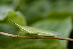 Image of Slant-faced or Gaudy grasshopper on nature background. Stock Photography