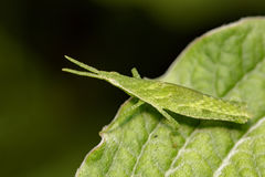 Image of Slant-faced or Gaudy grasshopper on nature background. Royalty Free Stock Photo
