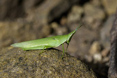 Image of Slant-faced or Gaudy grasshopper on the rocks. Stock Images