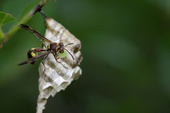 Image of a small brown paper wasp. Royalty Free Stock Photo