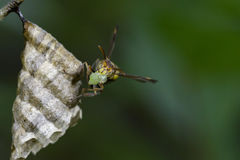 Image of a small brown paper wasp. Royalty Free Stock Photography