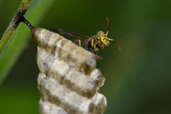 Image of a small brown paper wasp. Stock Images