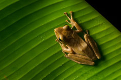 Image of small frog Royalty Free Stock Images