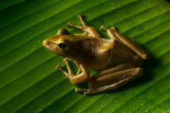 Image of small frog. Sitting on a green leaf Stock Image