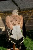 Image of the small hawk of `gheppio` breed. Image of the small hawk of kestrel breed which opens and wings in the sun stock images