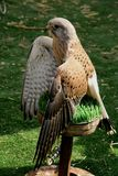 Image of the small hawk of `gheppio` breed. Image of the small hawk of kestrel breed which opens and wings in the sun stock photo