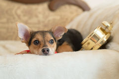 Image of small pretty dog with alarm clock looking out the window relaxing lying on the bed waiting Stock Photo