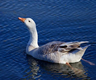 Image with the Snow goose drinking water Royalty Free Stock Images