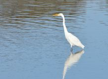 A side point of view of a snowy egret on water. An image of a snowy egret standing on water and a  reflection of the bird on the water Royalty Free Stock Photos