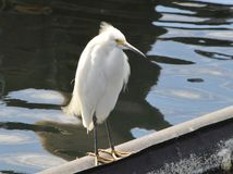 A side point of view of a snowy egret on water. An image of a snowy egret standing on water and a  reflection of the bird on the water Stock Photography
