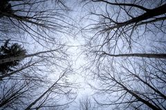 Some leafless trees in the sky. An image of some leafless trees in the sky Royalty Free Stock Images