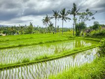 Some rice fields at Bali. An image of some rice fields at Bali royalty free stock images