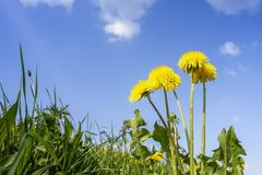 Some typical dandelion flowers. An image of some typical dandelion flowers Stock Images
