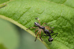 Image of spider and ant on green leaves. Insect Stock Image