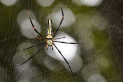 Image of Spider Nephila Maculata, Gaint Long-jawed Orb-weaver. Royalty Free Stock Photography