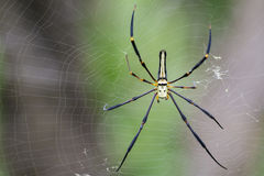 Image of Spider Nephila Maculata, Gaint Long-jawed Orb-weaver. Royalty Free Stock Photo