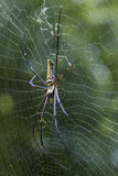 Image of Spider Nephila Maculata, Gaint Long-jawed Orb-weaver. Stock Photos