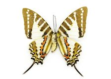 Image of Spot Swordtail Butterfly Graphium nomius. Stock Photo