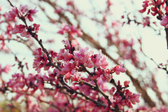 Image of Spring Cherry blossoms tree. retro filtered image, selective focus Stock Photography