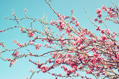 Image of Spring Cherry blossoms tree. retro filtered image, selective focus Royalty Free Stock Images