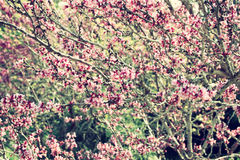 Image of Spring Cherry blossoms tree. retro filtered image, selective focus Royalty Free Stock Photo