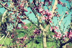 Image of Spring Cherry blossoms tree. retro filtered image, selective focus Royalty Free Stock Photos